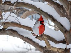 Northern #cardinal of southern #Canada