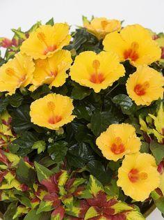 Hibiscus, Gardening, Lawn And Garden, Horticulture