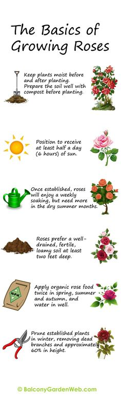 Find out in the illustration, the basics of growing and planting roses. Print and save for using later.
