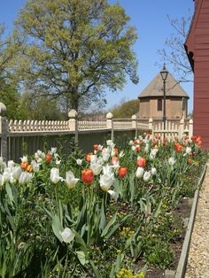 Colonial Williamsburg Tulips.  You have to go to Colonial Williamsburg at least ONCE!