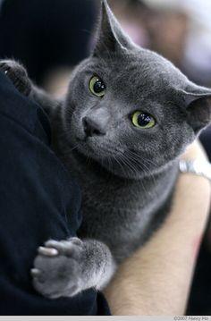 blue russian kitties | russian blue cat img 1416 jpg cat show singapore