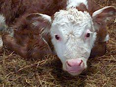 Hereford baby bull.