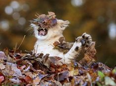 Lion Playing With Autumn Leaves (4 Photos)