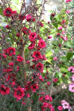 Leptosperma, Australian tea tree. Something different, pretty little flowers for the garden.
