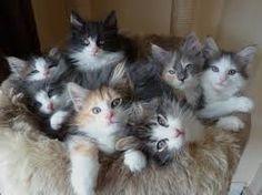 norwegian forest cat - Поиск в Google