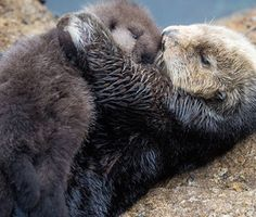 This is an adorable photo of an otter mom and her new baby, and the story is sweet too.