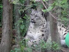 Snow Leopard - May 2006 - The Memphis Zoo - Memphis, Tennessee