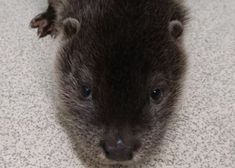 A baby otter was saved from drowning in sewage after it fell into a storm tank. The tiny mammal had fallen at the sewage works near Stowmarket in Suffolk and could not get out. Luckily a worker spotted him, scooped him out and called the RSPCA. Otter Pup, Baby Otters, Mammals, Animal Rescue, Pets, Water Treatment, Animal Welfare, Animals And Pets