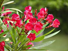 73 best oleander images on pinterest plants beautiful flowers and did you know the oleander tree comes with different color oleander flowers like yellow pink red and white oleander best of all oleander care is easy mightylinksfo
