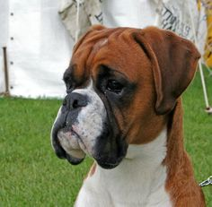 What and what's not in taking Boxer dogs | Treehouse Puppies