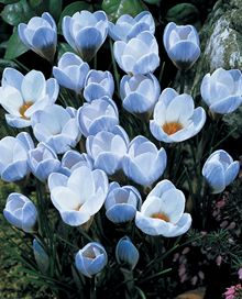 Blue Pearl Snow Crocus - early bloomer and multiply rapidly