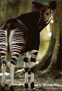 The Beautiful Okapi - relative of the giraffe