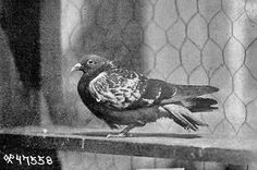 Cher Ami, the carrier pigeon who saved U.S. troops in World War I. Follow us at pinterest.com/thesugarship.