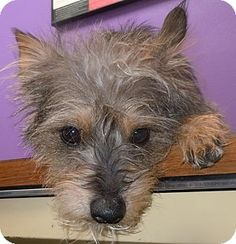 Facts about CARSON      Breed: Cairn Terrier Mix     Color: Black - With Brown, Red, Golden, Orange Or Chestnut     Age: Adult     Size...