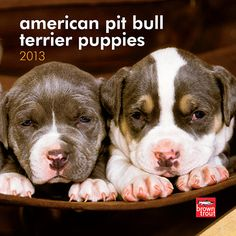 American Pit Bull Terrier Puppies Mini Wall Calendar: These adorable puppies, when raised responsibly, will grow up to be muscular, intelligent, and trustworthy pet companions. Enjoy this mini calendar featuring American Pit Bull Terrier puppies.  $7.99  http://calendars.com/Pit-Bulls/American-Pit-Bull-Terrier-Puppies-2013-Mini-Wall-Calendar/prod201300004570/?categoryId=cat10047=cat10047#