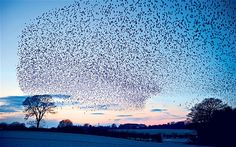 Starlings flying over the Somerset Levels