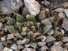 Ariocarpus retusus var. scapharostroides, La Muralla, Węgierska Górka 2010r.