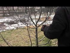 How to Dormant Prune Apple & Pear Trees Video - YouTube