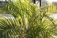 c9546059a897702821ecbfdd3dd51453 Palm House Plant With Yellow Flowers on vine plant with yellow flowers, broadleaf plant with yellow flowers, succulent plant with yellow flowers, fern plant with yellow flowers,
