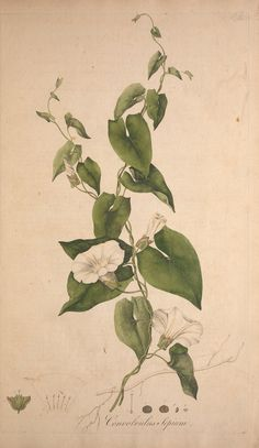Larger Bindweed. (formerly Convolvulus sepium) Calystegia sepium. Name also: Hedge Bindweed, Bellbine, Rutland Beauty | Flora Londinensis, or, Plates and descriptions of such plants as grow wild in the environs of London :. London :Printed for and sold by the author ... and B. White,1777.. biodiversitylibrary.org/page/40966339