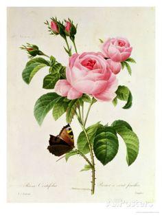 Rosa Centifolia reproduction procédé giclée par Pierre-Joseph Redouté sur AllPosters.fr