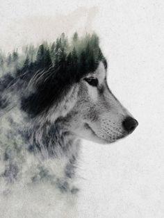 wolf, malamute, husky, dog, alaska, andreas lie, double exposure,