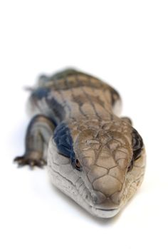 Blue tongue skink. Impressive and easy to care for, about 1-2 feet full grown.