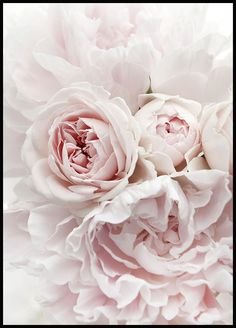 Elegant poster with a bouquet of pink peonies. The peonies' leafy petals form into soft, wavy patterns that create the illusion of the flower petals lying on a bed of pink silk sheets. The poster prov Nature Posters, Love Posters, Buy Posters, Pink Peonies, Pink Flowers, Flower Petals, Flor Magnolia, Gold Poster, Poster Poster