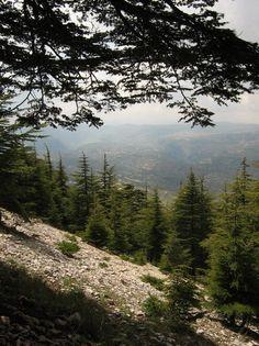 Cedres du Chouf - Chouf, Mont-Liban - Lebanon