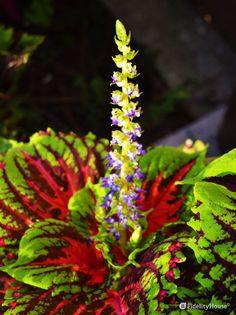 Difficile rintracciare il nome di questa pianta che, da parte sua, ce la mette…