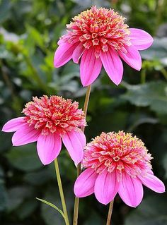 So pretty Flowers Apricot Fudge Asiatic Lily Itoh Peony Bartzella Mexico Dahlia