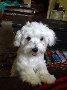 Maltese white my precious! My bestie lil diamond!! I love her!! She's the sweet lil dog ever!!