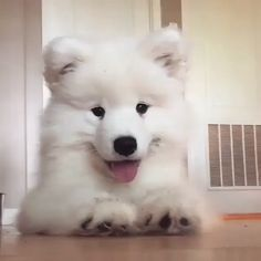 Things that make you go AWW! Like puppies, bunnies, babies, and so on. A place for really cute pictures and videos! Super Cute Puppies, Cute Baby Dogs, Cute Funny Dogs, Cute Dogs And Puppies, Cute Funny Animals, Samoyed Puppies For Sale, Doggies, Samoyed Dogs, Fluffy Dogs