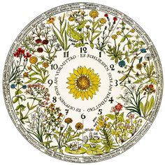 Calendrier des 7 lunes - Reproduction de l'horloge florale de Linné  L'illustre naturaliste suédois Carl Von Linné, observant les horaires d'ouverture et fermetures de certaines fleurs, a imaginé une horloge végétale.