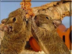Degu Food info - English Degu-Site - Information about Degus