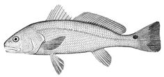 DRAWING OF FISH - Google-søgning