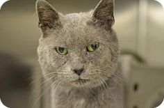 Philadelphia, PA - Domestic Shorthair. Meet Butler, a cat for adoption. http://www.adoptapet.com/pet/17281672-philadelphia-pennsylvania-cat