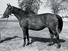 Courtly Dee(1968) Never Bend- Tulle By War Admiral. Nervous Type That Was Not Very Successful On Track. Considered A Blue Hen In Barn. She Was Dam Of Ali Oop, Princess Oola, Native Courier, Foreign Courier(Dam Of Green Desert), Aishah(Dam Of 3 Stakes Winners Including Aldiza And Auerlia(Dam Of Auerlia's Belle), Aqualegia(Also Dam Of 3 Stakes Winners), Etc.