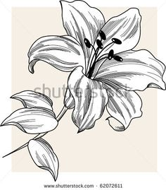 stock vector : Flower Lily