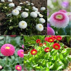 Hoa cúc Bellis perennis là một loại hoa thuộc họ hoa cúc, hoa có mầu đỏ rất đẹp và bắt mắt. Cây và hoa được ưa chuộng dùng làm cảnh hoặc trồng để chậu trong nhà hay sân vườn.