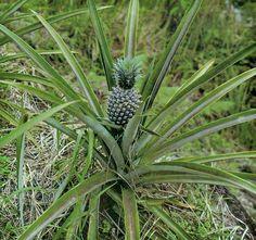 Ananásovník – Ananas comusus 2 Cactus Plants, Pineapple, Fruit, Pinecone, Cacti, Pine Apple, The Fruit, Cactus