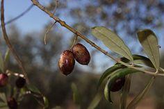 La mouche de l'olivier (bactrocera Oleae)