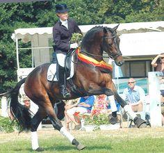 Herzensdieb (Tambour x Herzensfreude by Tivano), 2003 bay Trakehner stallion, 16.2hh. 2005 - Champion of the Trakehner licensing. 2006 -3 year old German Trakehner Champion 2006 - Reserve Champion 70 day testing. Standing at Leatherdale Farms.
