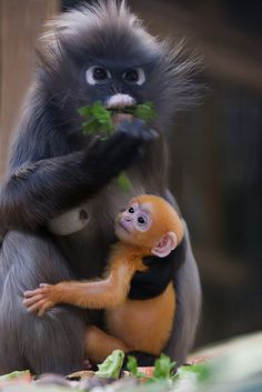 Langur monkey with her baby.