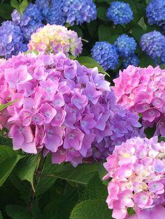Gorgeous #hydrangea  #cottagegarden #Lifebytheshore happy #gardener
