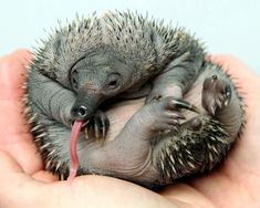 echidna baby | baby echidna 12 Baby Animals So Ugly They Are Cute