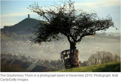 """"""" The tree in all its glory before it was hacked apart. Legend says it sprang from the staff of Joseph of Arimathea, the man who helped Jesus of the cross. To the right of the tree, in the distance, is Glastonbury Tor. Glastonbury Tor, Glastonbury England, Altar, Joseph Of Arimathea, Mists Of Avalon, Growing Tree, Dark Ages, Pilgrimage, Faeries"""