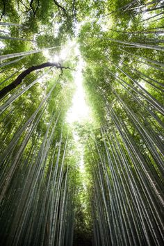 Arashiyama Bamboo Forest in Kyoto, Japan. Find out where to go in Kyoto --> Our 3-Day Kyoto Itinerary #travel #japan