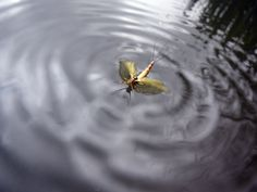 """Un instante congelado, una Efémera Dánica recién liberada de la exhuvia  rompe la tranquilidad de la """"tabla"""",  mientras intenta levantar sus alas."""