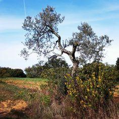 #Olivetree . #SanVivaldo, #Toscana, #Italia.  #Tuscany #Italy #countrylife #countryside #garden #vegetables #natura #nature #peace #sunset #orto #tramonto #olivo #olive #albero  #olio #tree #igerstoscana #igersfirenze